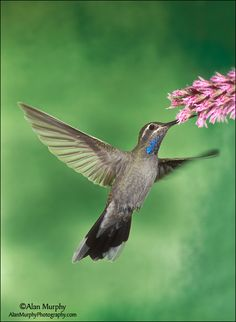 Blue-throated Hummingbird. ~~Arizona Summer Vacation Deal $595WK ~SE Arizona Mt Summer Ranch Getaway at Hummingbird Ranch Vacation House in Pearce AZ. ~Enjoy our cooler Mt Breeze Summers w/ 360 Mt Views, 3 Ghost Towns and 2 National Parks. http://vacationhomerentals.com/68121