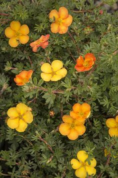 Prune in early spring. Monrovia's Sunset Potentilla details and information. Learn more about Monrovia plants and best practices for best possible plant performance. Flowering Bushes, Planting Shrubs, Landscaping Plants, Trees And Shrubs, Trees To Plant, Landscaping Ideas, Garden Plants, Orange Flowers, Colorful Flowers