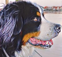 Beautyful Bernese Mountaindog Baloo