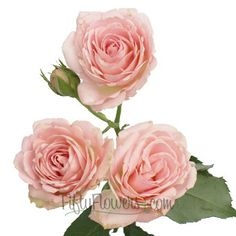 Classic Pink Spray Garden Roses | FiftyFlowers.com; 4 bunches for $109.99