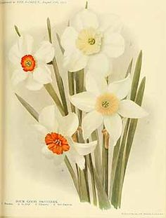 273164 Narcissus / The garden. An illustrated weekly journal of horticulture in all its branches [ed. William Robinson], vol. 77:  (1913)