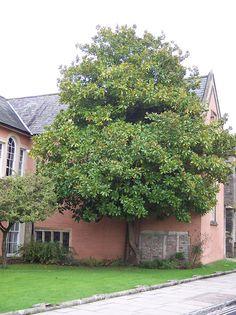 Evergreen Magnolia - MAGNOLIA GRANDIFLORA GALISSONIERE « Chew Valley Trees