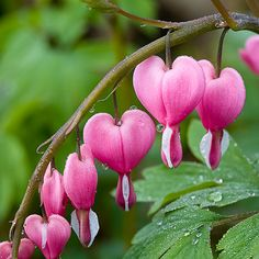 Flowers of the bleeding heart plant are heart shaped. Love this, they are so pretty!!