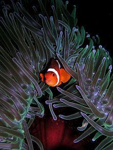 Ocellaris Clownfish nestled in a sea anemone