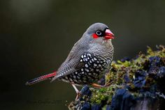 Red Eared Firetail Finch