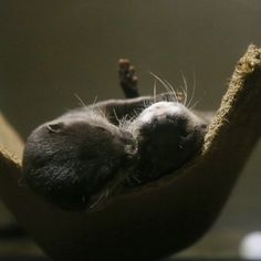 Otters have cuddle time in their hammock - January 14, 2013