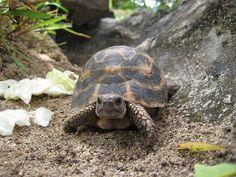 Pyxis planicauda - Flat-backed spider tortoise - Wikipedia, the free encyclopedia