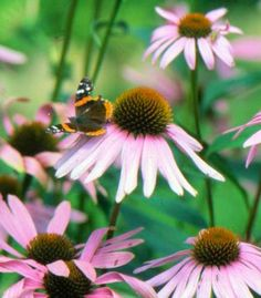 These good-looking perennials can weather whatever our Midwestern climate delivers. Best of all, they come back year after year with almost no attention on your part.