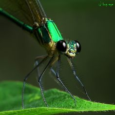 Damsel Fly Macro    bug eye :)