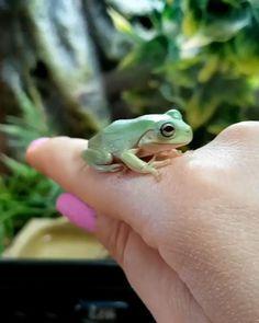 White's Tree Frog aka Litoria caerulea