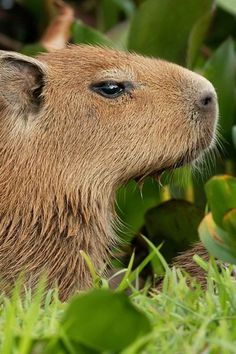 Capybara - Largest rodent in the world!