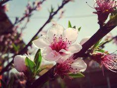In love with spring #nature #natur #camera #flower #of #spring #samsung #frühling #pink #flowes #sky #bluesky #vsco #vscocam #vscokosova #insta #instalike #instamood #instagram #today #sun by mccaynsabina