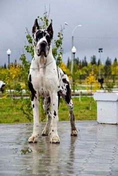 Top 5 World's Largest Dog Breeds The Great Dane is one of the world's tallest dog breeds. The world record holder for tallest dog was a Great Dane called Zeus who measured 112 cm (44 in) from paw to shoulder.Their large size belies their friendly nature, as Great Danes are known for seeking physical affection with their owners.source