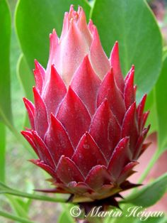 Designs For Garden Flower Beds Red-Rex Protea Flower-Bud Flor Protea, Protea Art, Protea Flower, Unusual Flowers, Amazing Flowers, Love Flowers, Wild Flowers, Blossom Flower, Flower Art