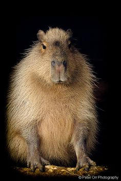 Capybara by peter orr 500,000 views, thanks, via Flickr