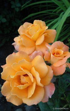 'Orange Senta' | Floribunda rose. MONTEAGRO Serbia