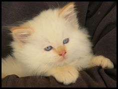 One day, I'll have a white long haired cat with blue eyes, one day....