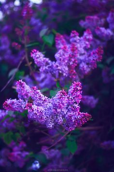 Purple lilac - There is a tradition where we go to parks and cut lilacs... Lilac stealing?  But they smell so good in the house.