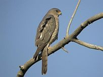Balkansperwer - Accipiter brevipes