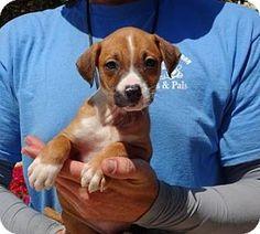 Lathrop, CA - Terrier (Unknown Type, Medium) Mix. Meet Daytona, a puppy for adoption. http://www.adoptapet.com/pet/15351092-lathrop-california-terrier-unknown-type-medium-mix