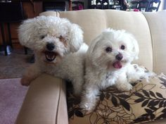 Buffy and Molly Bichons, Buffy, Dogs, Animals, Animales, Animaux, Pet Dogs, Doggies, Animal