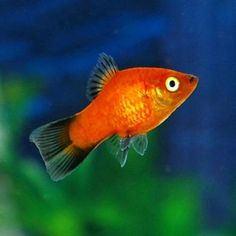$3 = Neon Orange Moon Platy can be found in many sheer, bright colors and will retain its small body size. Female Platys can grow to 3 inches in length with males a bit smaller. When male and female are coupled, the Neon Orange Moon Platy can and will produce broods of young on an average of once a month. This time can be shorter or longer, depending mainly upon temperature. These fish are best kept in trios. This will keep the male from exhausting the female.
