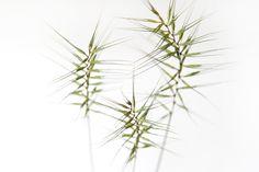 bottlebrush grass (mary jo hoffman)
