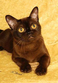 Cute Burmese-- Looks Like Imogene