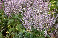 Muskotályzsálya Salvia, Garden, Flowers, Plants, Garten, Sage, Lawn And Garden, Gardens, Plant