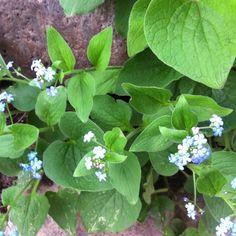 Beautiful blue brunnera blossoms!