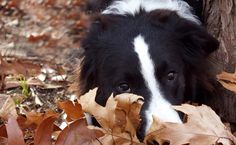 Fall Fido Fun ! #cute #dog in #nature playing int he leaves during the #fall season! #woof!