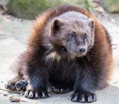 Photo by gerckens. Wolverine Images, Wolverine Animal, Animals And Pets, Baby Animals, Cute Animals, Wild Animals Pictures, Animal Pictures, Animal Kingdom, Different Types Of Animals