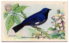 1920s Baking Soda Bird trade cards  Black-throated Blue Warbler
