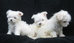 CHINA CUP MALTESE PUPPIES AT 10 WEEKS. LACHICPATTE.COM