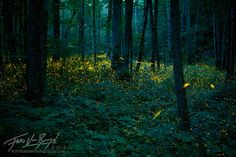 Fireflies in Great Smoky Mountains National Park in Tennessee