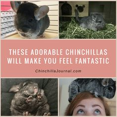 Chinchillas That Will Make Your Heart Melt Chinchillas And Animal - 29 adorable animals that will leave you smiling for the rest of the day