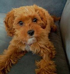 teddy+bear+dog | Teddy-Bear dog | animal obsessed