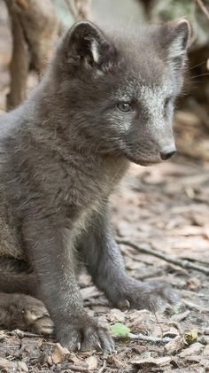 Arctic fox .. The dark ones are even cuter
