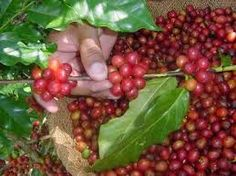 La uva fue uno de los cuantos productos que  trajo Cristóbal Colón de América.