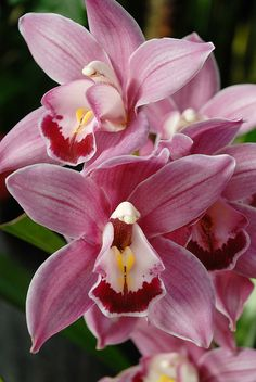 Pink Orchids - San Francisco