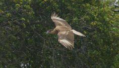 Westpunt, Warawara spotten Bald Eagle, Animals, Animales, Animaux, Animal, Animais