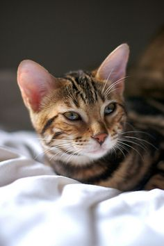 Toygers cat. How can you not fall in love with these amazing cats.