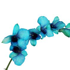 Psychedelic Blue Dendrobium Orchids | FiftyFlowers.com; 60 stems for $139.99