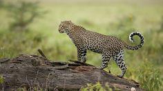 Leopard (Panthera pardus) standing on fallen tree, Lake Nakuru, Great Rift Valley, Kenya