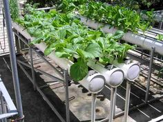 Hydroponic gardening or hydroponics is the science of growing plants using only nutrient-rich liquid as a soil replacement. Learn about hydroponics here. Hydroponic Vegetables, Hydroponic Farming, Hydroponic Growing, Growing Plants, Backyard Aquaponics, Vertical Hydroponics, Hydroponic Plants, Aquaponics Fish, Hydroponic Store