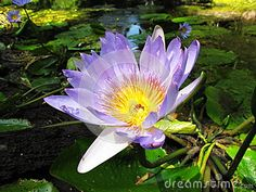 Photo about Water Lily in Tsitsikamma National Park coastal reserve in South Africa. Image of lily, national, reserve - 45630533 Tsitsikamma National Park, Water Lilies, Nature Photos, South Africa, Coastal, National Parks, Lily, Victoria, Stock Photos