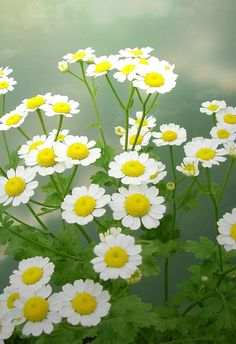 Feverfew..repels bees =/ plant away from Garden..perennial
