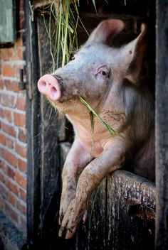 A symphatetic pig hanging on a barn door with straw in mouth  Un cochon…