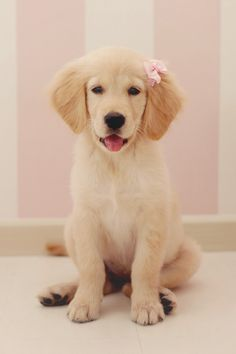 Love of Goldens  Such a pretty little girl!  I have to get a bow like this for my Dixie ♥