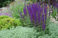 salvia caradonna (window box privacy planting). salvia fact sheet - growing, container planting, pests, etc: http://www.northerngardening.com/NGB_articles/salvia.htm